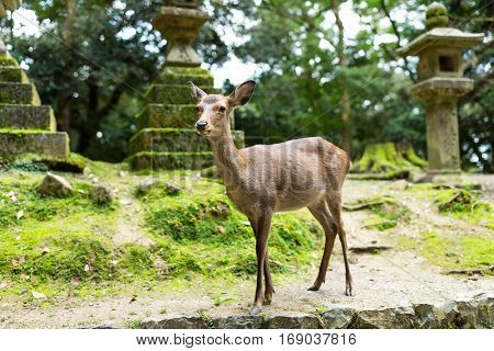 Wild deer in Japanese temple