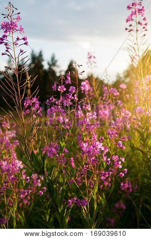 Pink flowers of fireweed (Chamerion angustifolium) at sunrise selective focus