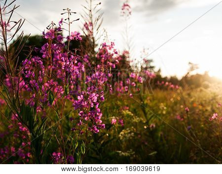 Pink flowers of fireweed (Chamerion angustifolium) at sunrise selective focus horizontal