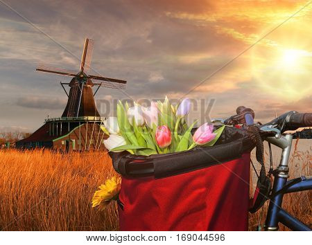Basket Of Colorful Tulips Against Dutch Windmills In Zaanse Schans, Amsterdam, Holland