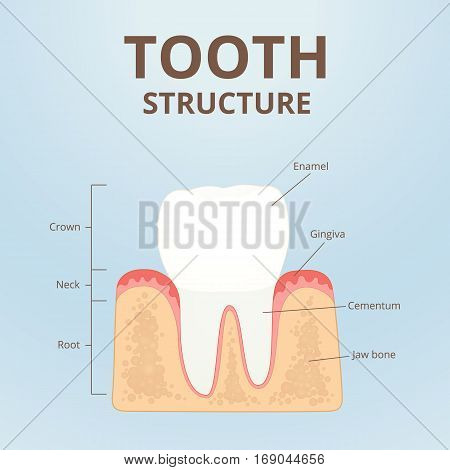 structure of a healthy human tooth, molars scheme