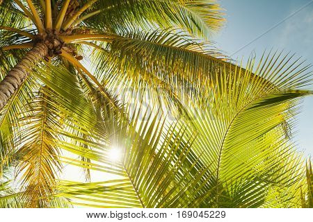 Coconut Palm Tree Leaves In Sunlight