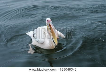 Swimming great white pelican in the Walvis Bay, Namibia