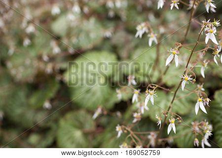 White strawberry geranium flowers over green leaves