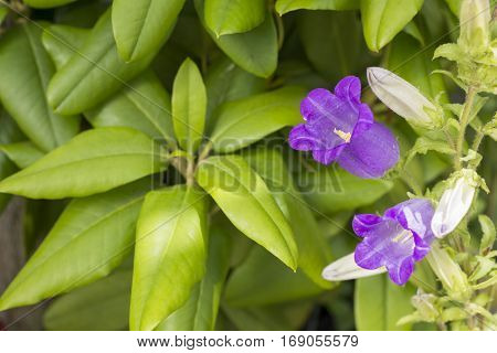 Purple canterbury bells flower in front of green leaves