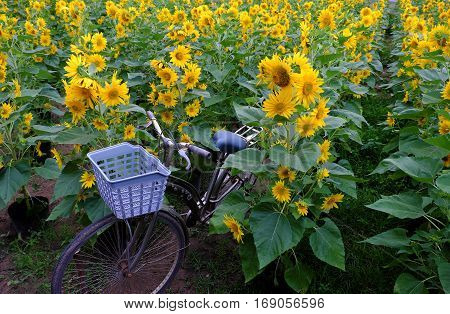 Bicycle At Sunflower Field