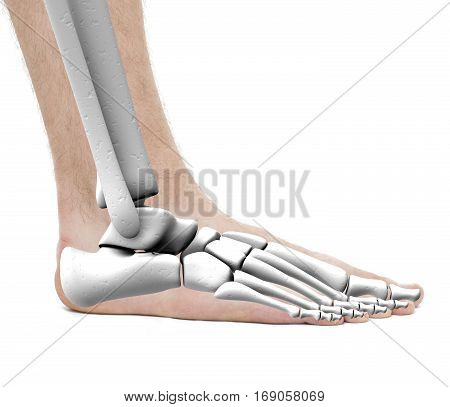 Foot Ankle Bones - Anatomy Male - Studio Photo Isolated On White