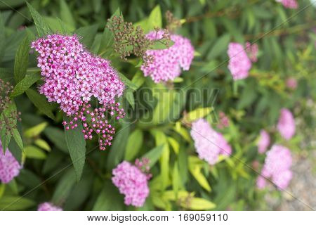 Corymb of pink japanese spiraea flowers in early summer