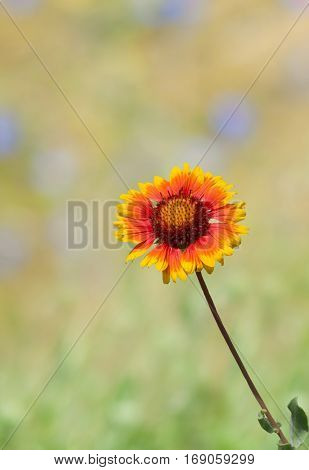 Collage with beautiful Indian blanket flower and summer colorful background.