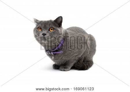 cat with a collar on a white background. horizontal photo.