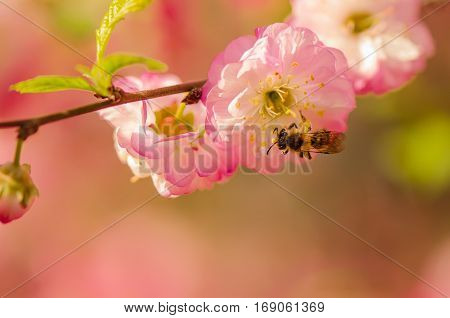 Bee on a spring flower of almond. Prunus triloba (Louiseania) blossoms. Close-up. Nature background.