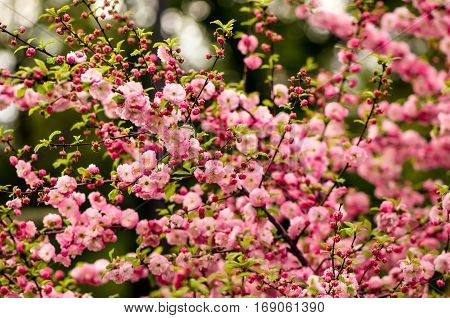 Prunus triloba (Louiseania) blossoms. Spring bush of almond with beautiful pink flowers.