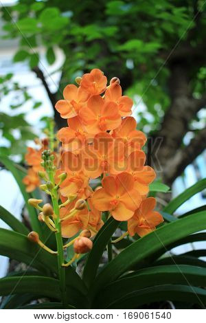Yellow orchid grow beside the big tree