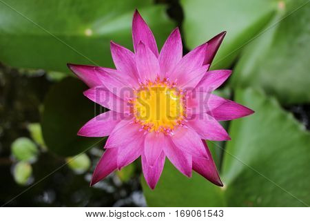 Close up of pink waterlily in Thailand