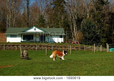 Farm Animals And House