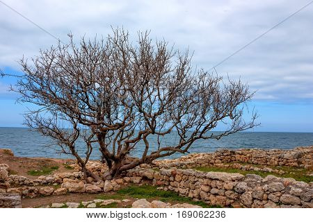 Ruins of ancient basilica basement and lonely tree in Chersonesus Tauric archaeological park in Sevastopol, Crimea