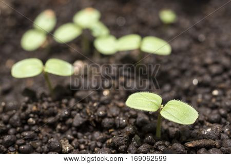 Green cotyledon of germinated sesame seeds on soil