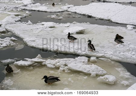 Ducks on ice floes drifting in the ice drift