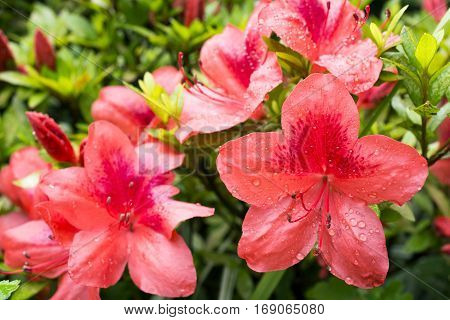 Bright vermilion azalea flowers(Rhododendron kaempferi) wet with rain