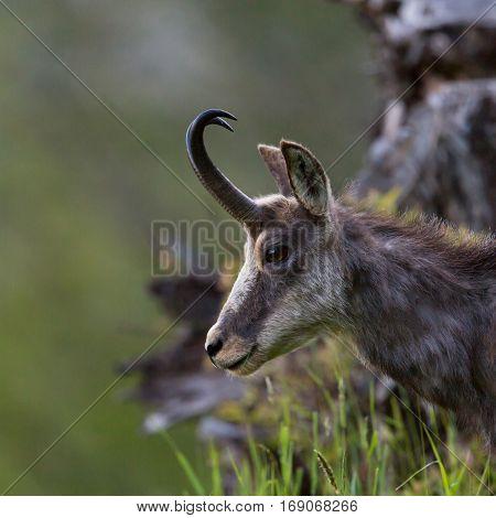 portrait of natural chamois in grassland (Rupicapra rupicapra)
