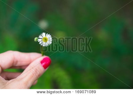 Female hand holding single daisy flower against green blurred background with copyspace