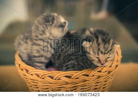 Basket with young kittens. Beauty and tenderness