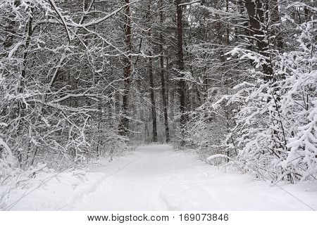 the image of a winter forest