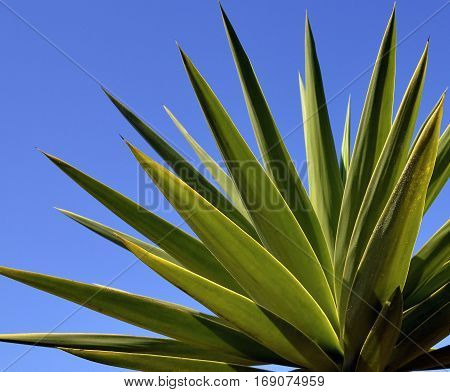 Agave tequilana plant to distill mexican tequila liquor against blue sky. Agave succulent plant.Nature background.