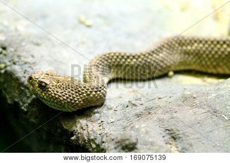 Brown toxic snake in terrarium on stone.