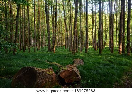 Morning in the forest with thick tree trunk in the foreground