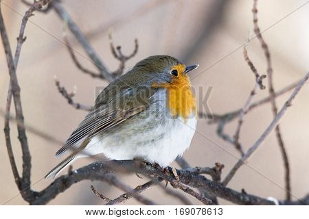 The photo shows a robin on a branch