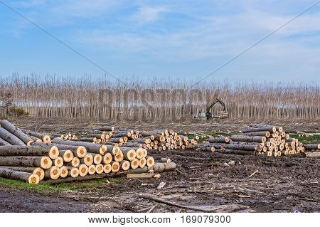 Cutting of poplars crane log and woodpiles