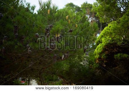 Close focus on pine tree branches with big strobilas on it, outdoor escaping and exploring nature in mountain forest