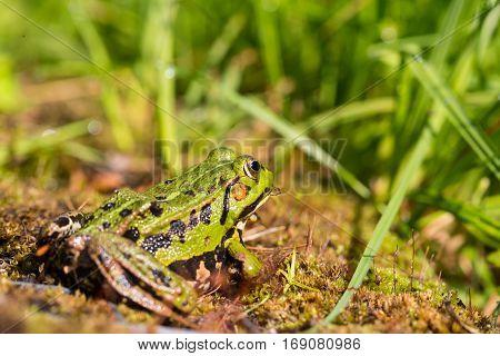 portrait of green frog (Rana esculenta) sitting in natural environment