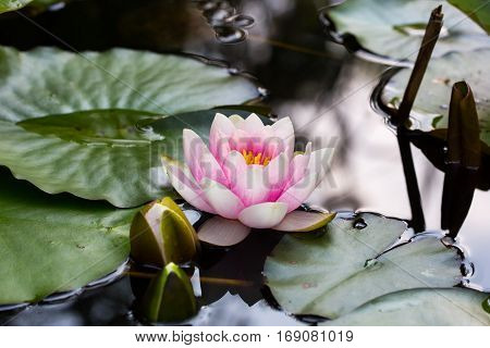 pink blossom of nymphaea flower with natural leaves