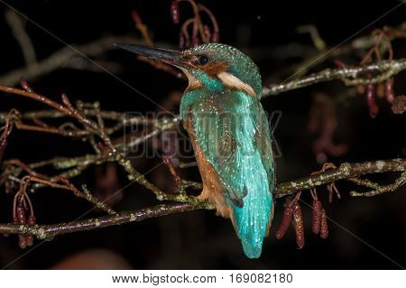 Kingfisher (Alcedo atthis) perched on branch at night. Common kingfisher in the family Alcedinidae at rest on alder on river bank in profile