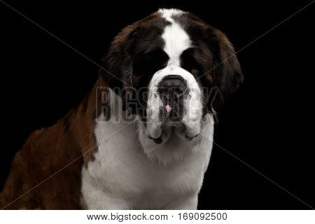 Close-up Headshot of Huge Saint Bernard Dog on Isolated Black Background, Front view