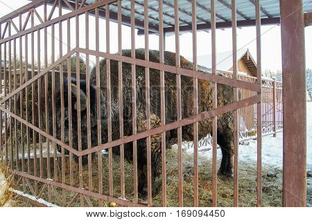 Great bison behind a fence. Wild animals in captivity in the open air.