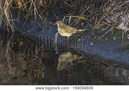 A water pipit on the Erbach riverside