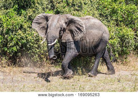 Elephant - loner.  Fascinating journey to Africa. Chobe National Park in Botswana. Watering large animals in the Okavango Delta