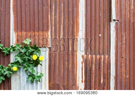 Rusty Corrugated Metal Sheet with Yellow Flower Background/ Texture