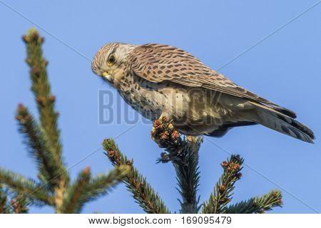 Common Krestel (falco Tinnunculus)