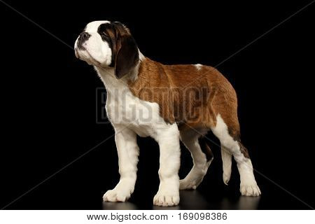 Gorgerous Saint Bernard Puppy Standing and Sniffing on Isolated Black Background, side view