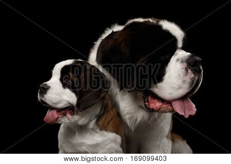 Close-up Head of Two Saint Bernard Dog, Puppy and her Mom on Isolated Black Background, Profile view