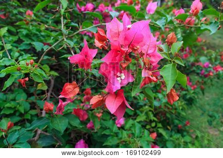 Close up of pink and magenta bougainvillea flower