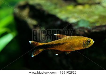 Aquarium fish Silver Tipped Tetra swimming freshwater aquarium tank photo