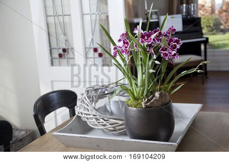 Pink Miltonia orchid in home interior setting