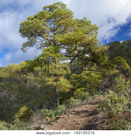 central Gran Canaria Nature Park Tamadaba canarian Pine trees on the slopes footpath