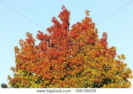 blur of maple leaf with clear blue sky. three maple leaves have changed color in fall.