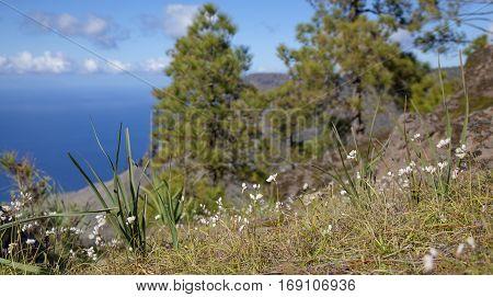 central Gran Canaria Nature Park Tamadaba rosy garlic flowering in winter